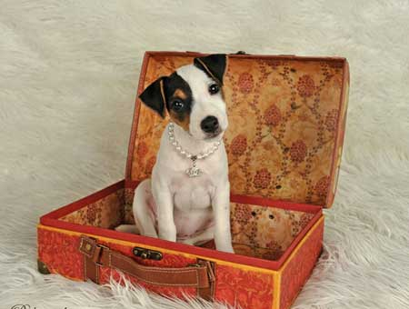 Jack Russell Terrier Puppies for Sale | British Grit Jack